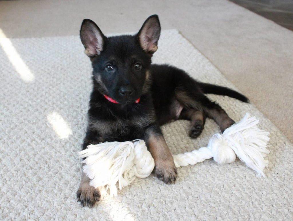 German Shepherd named Remo