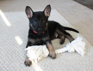 German Shepherd named Remo