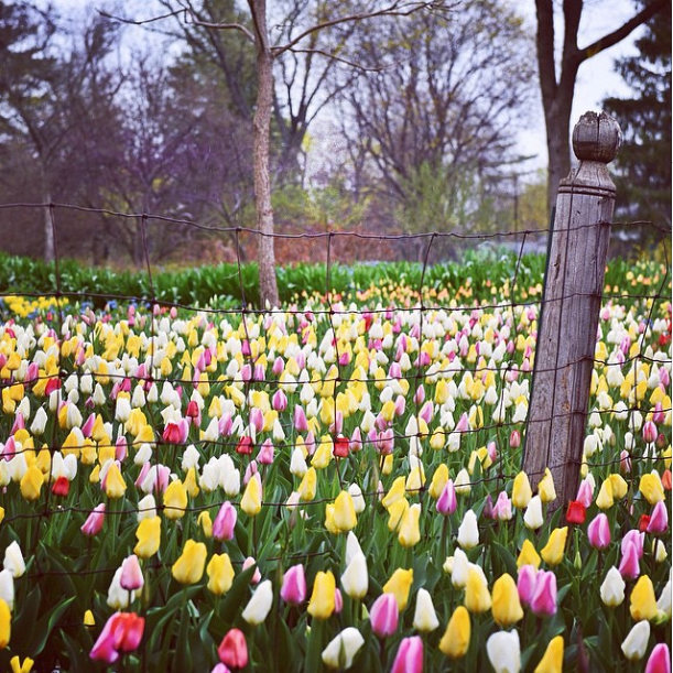 Tulips from Midwest Living