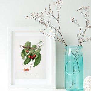 Cherry Tree Vintage Illustration