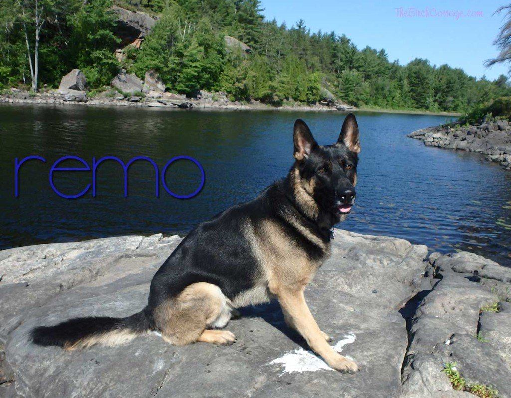 Our German Shepherd - Remo