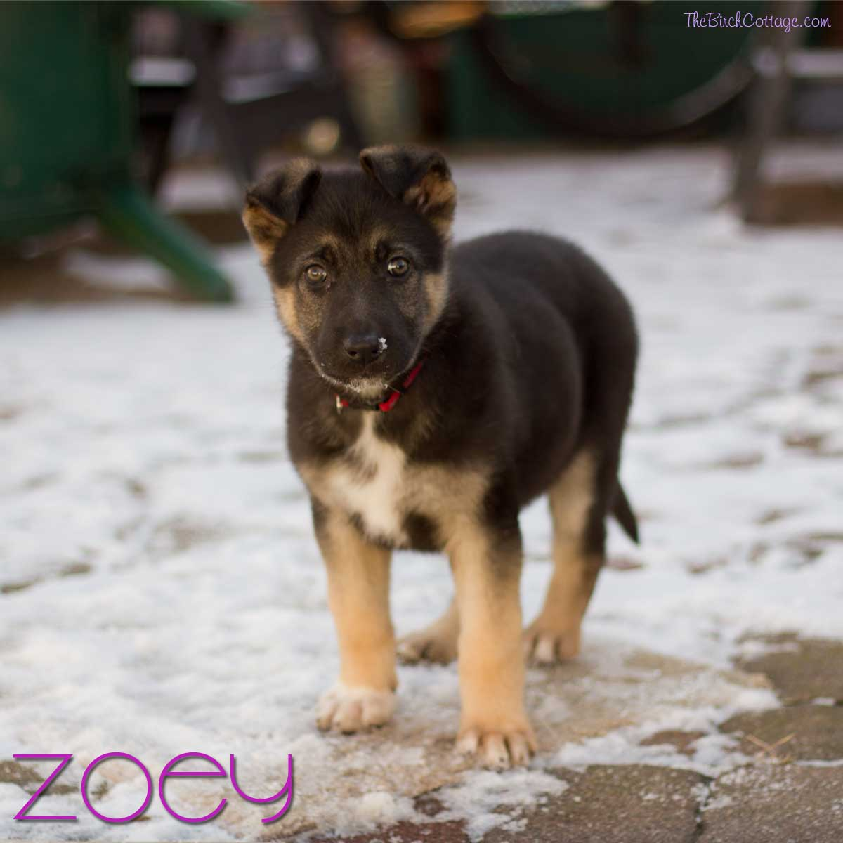 Meet the newest member of our family - Zoey, a German Shepherd puppy!