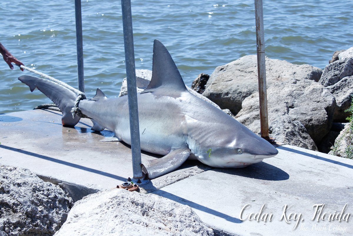 Cedar Key, Florida is for nature lovers. There are plenty of attractions in Cedar Key for nature lovers. Shark caught off the shore of Cedar Key.