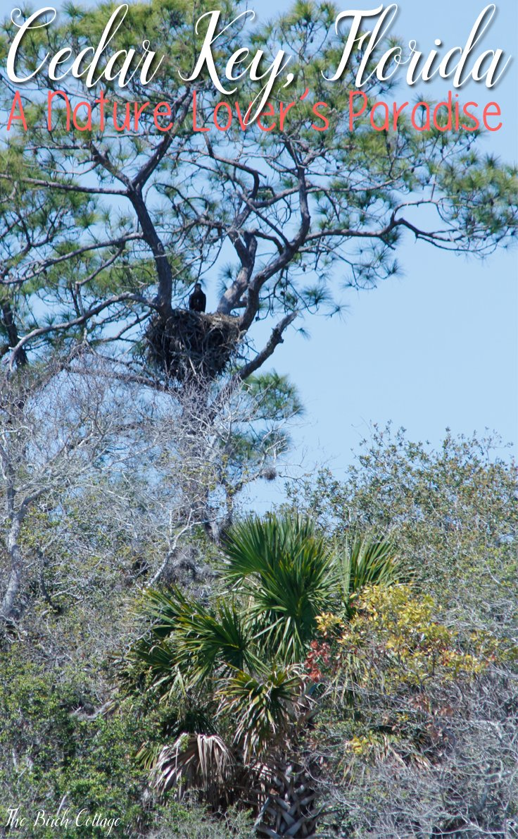 Cedar Key, Florida is for nature lovers. There are plenty of attractions in Cedar Key for nature lovers. Baby bald eagle.