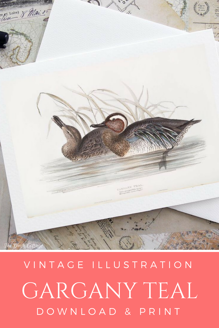 Vintage illustration Gargany Teal Ducks