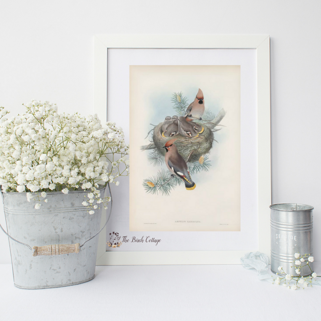Download these free printable vintage bird illustrations from The Birch Cottage
