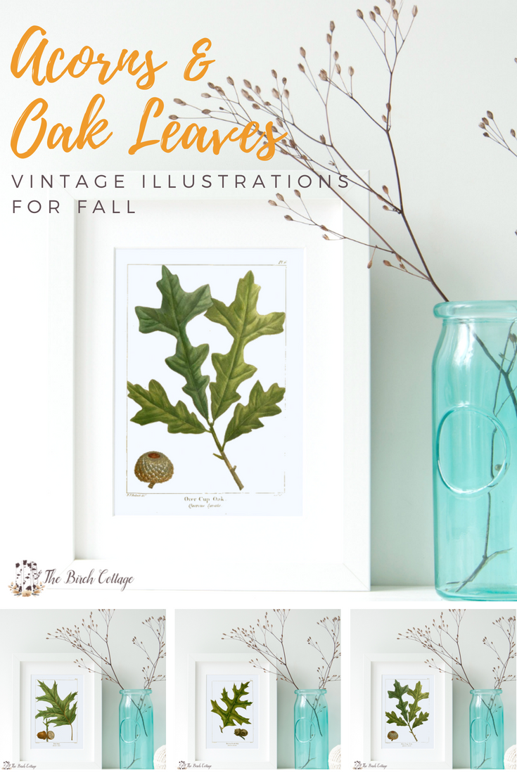 Acorns & Oak Leaves Vintage Illustrations by The Birch Cottage