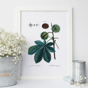 Ohio Buckeye Vintage Illustration by The Birch Cottage